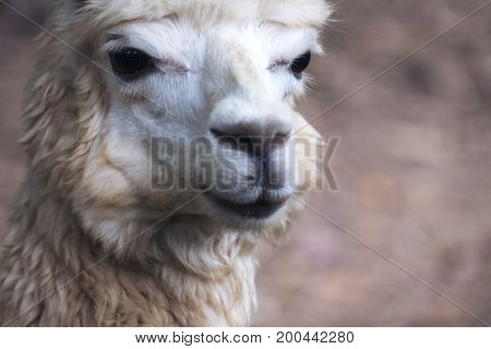Closeup image of a white alpaca with blur background