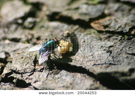 Fly Eating