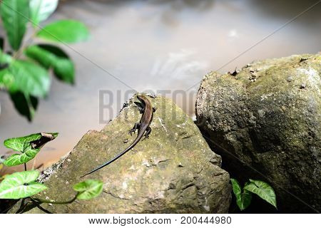 Family butterfly lizard in nature, Small-scaled lizard, round lizard