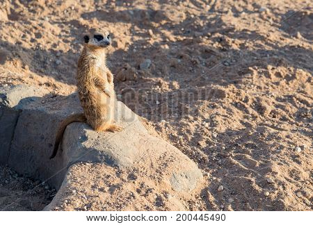 meerkat basks in the sun sitting on the stone.
