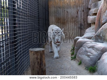 white tiger in the zoo walking in the enclosure.