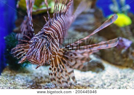 Marine Fish Zebra fish or striped lionfish.