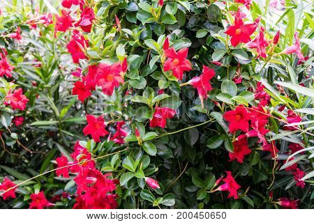 Bush With Red Flowers Blooming