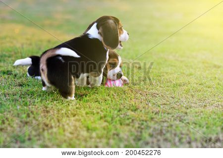 Cute young Beagles playing with ball in garden
