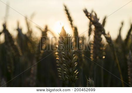 a Summer sunset, sun rays in the wheat field spikes