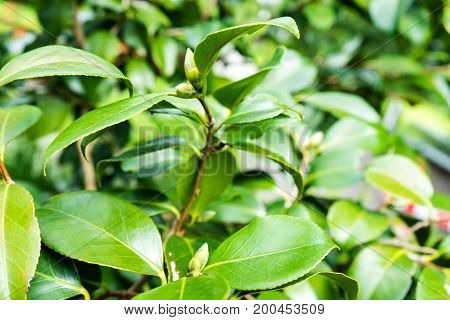camellia japonica leaf close up theaceae green