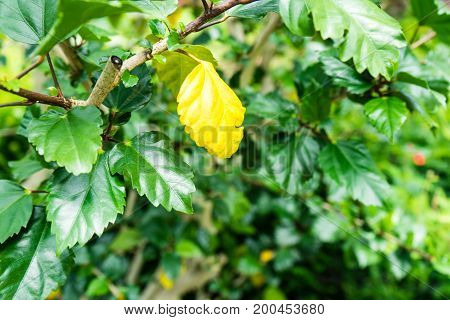 hibiscus rosa sinensis yellow leaf close up chinese