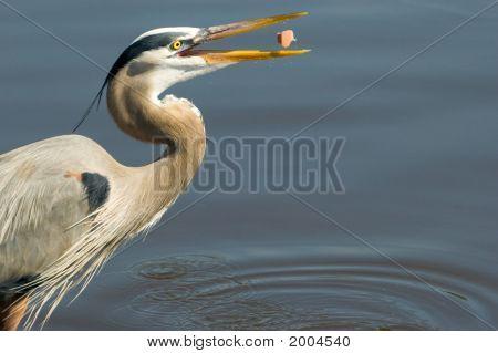 Heron With Food