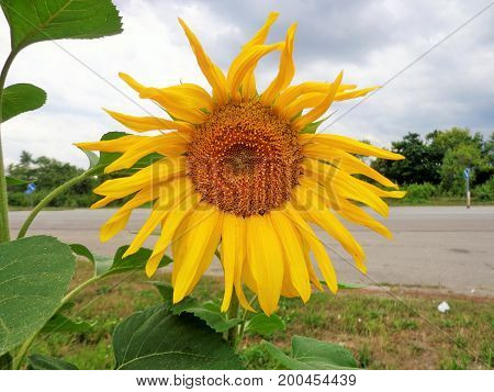 pictured ripe sunflowers on a background of blue sky