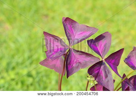 Leaf Of Oxalis Triangularis - Also Called False Shamrock, Love Plant Or Purple Shamrock