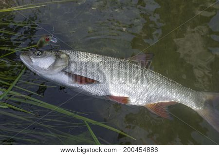 Catched Asp Fish In Water. Fishing Background