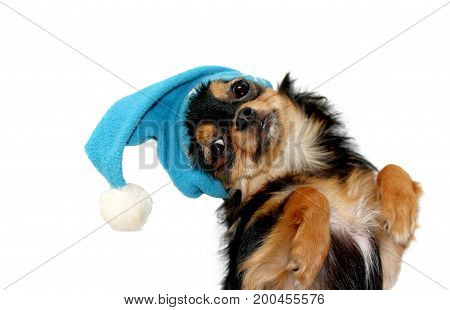 Cheerful cute little chihuahua puppy in blue christmas hat on white background isolated