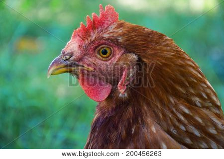 Hens Feed On The Traditional Rural Barnyard At Sunny Day. Detail Of Hen Head. Chickens Sitting In He