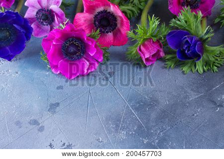 Fresh Anemones flowers flat lay scene on gray stone background with copy space, low key scene