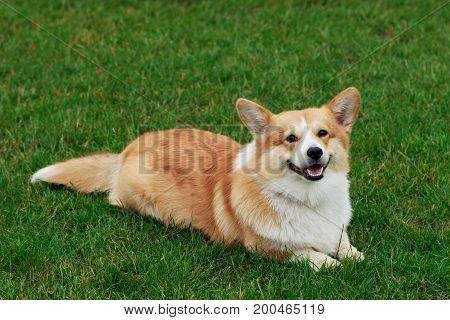 Dog breed Welsh Corgi Pembroke on the green grass