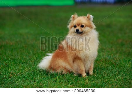 The small Pomeranian Spitz sitting on green grass