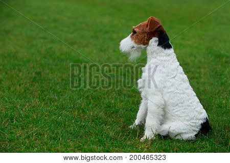 Dog breed Fox terrier sits on a green grass