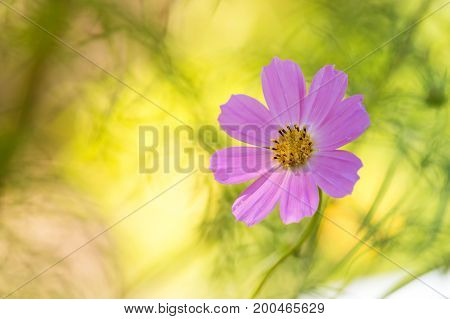 Pink flower cosmos on a beautiful sunny background