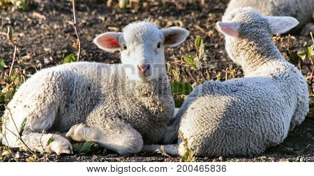 Lambs resting in the field. Santa Clara County, California, USA.