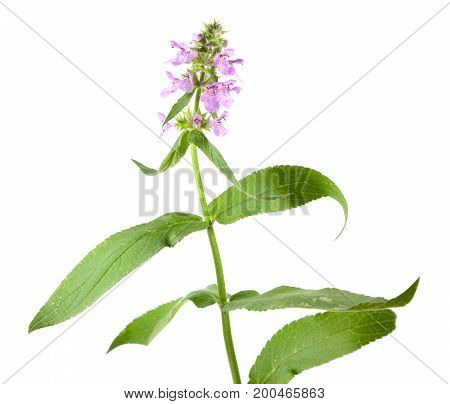 Marsh hedgenettle or marsh woundwort (Stachys palustris) isolated on white background. Medicinal plant