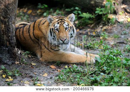 Siberian Tiger In Summer Day