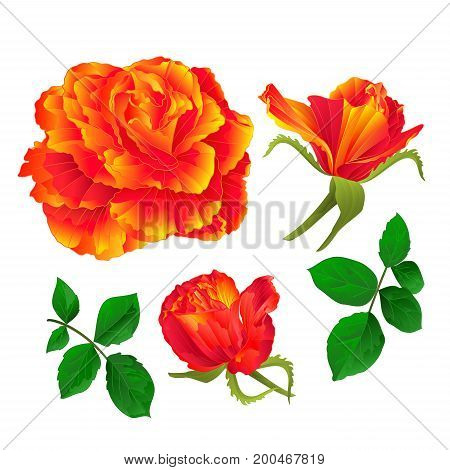 Flower orange rose and buds vintage on a white background Set first vector illustration editable hand draw