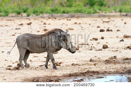 A lone Warthog standing alone on the dry dusty plains with a lush green bush in the background in Hwange National Park Zimbabwe