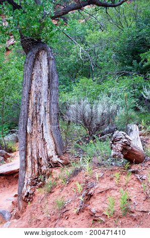 Decayed tree along Taylor Creek hiking trail, Kolob Canyons, Zion National Park, Utah, USA