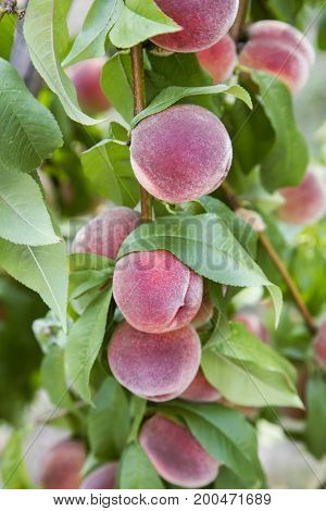 ruddy ripe peaches on a tree.Healthy food, grown in ecological conditions