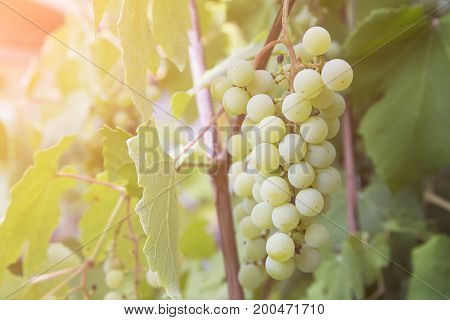 Green grapes on the branch.Healthy food, grown in ecological conditions