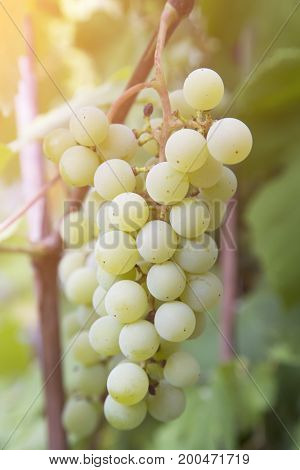 Bunch of green grapes.Healthy food, grown in ecological conditions