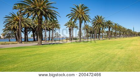 Palm trees in Langley Park along Riverside Drive and Swan River in Perth City Western Australia