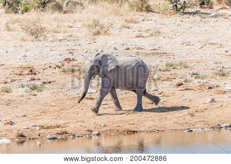 An african elphant calf Loxodonta africana running at a waterhole in Northern Namibia