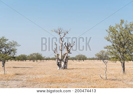 A Moringa tree or Fairy Tale Tree Moringa Ovalifolia in Northern Namibia