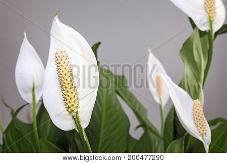 Beautiful white flowers and green leaves tropical flower Spathiphyllum on a light background.