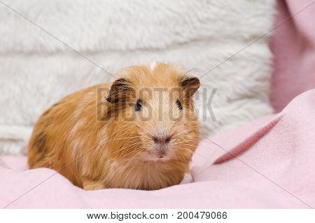Portrait of cute red guinea pig close up.