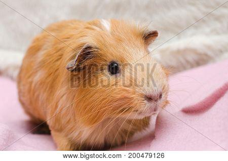 Portrait of red guinea pig on pink blanket close up.