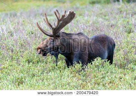 Bull Moose - Wild Shiras Moose in the Rocky Mountains of Colorado