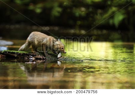 Young red fox on stone in rivereat fish - Vulpes vulpes