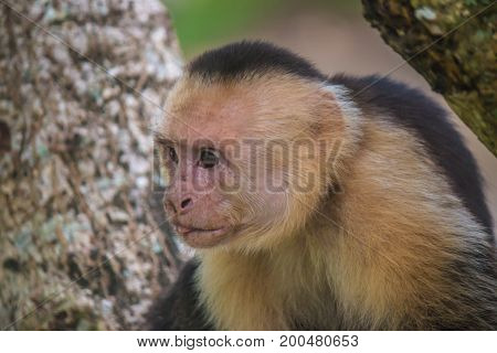 White-headed Capuchin also known as the white-faced capuchin or white-throated capuchin, is a medium-sized New World monkey of the family Cebidae, subfamily Cebinae. (Photo taken in Manuel Antonio, Costa Rica)