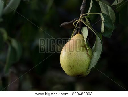 Single Bartlett pear ripening on the vine with slight blush, dark green background