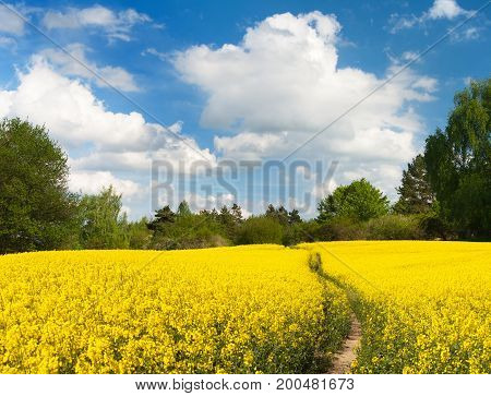Field of rapeseed canola or colza in Latin Brassica napus with path way and beautiful cloudy sky rapeseed is plant for green energy and green industry springtime golden flowering field
