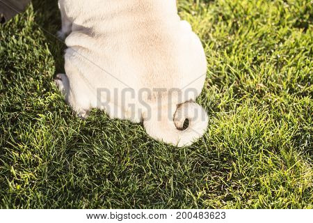 Close up picture of cute pug tail on the green grass