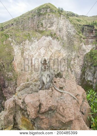 macaque monkey at a volcano named Mount Batur in Bali Indonesia
