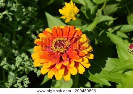 A Zinnia flower growing in the garden