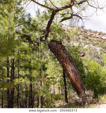 Fallen decaying tree along the path of Taylor Creek hiking Trail, Kolob Canyons, Zion National Park, Utah, USA