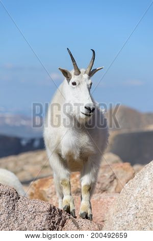 Wild Mountain Goats on Colorado Mountain Peaks.