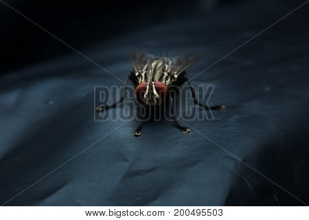 Flesh fly on plastic bag with close-up detailed view