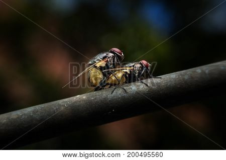 Flies mating on wired with close-up detailed view