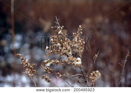 Dried goldenrod (Solidago sp.) flower stems during January in the Rock Run Preserve of Joliet, Illinois.